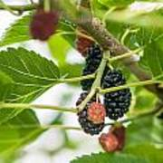 Ripe Mulberry On The Branches Art Print