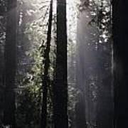 Road Through Redwoods Art Print
