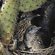 Roadrunners In Nest Art Print