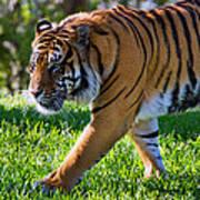 Roaming Tiger Art Print