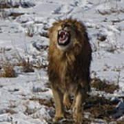 Roaring Lion Art Print