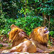 Roaring Lions Art Print