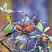 Robin And Berries Art Print