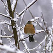 Robin In Snow Art Print