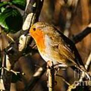 Robin In The Hedgerow Art Print