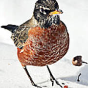 Robin In The Snow Art Print