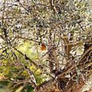 Robin Perched On Olive Tree Art Print