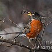 Robin Pictures 100 Art Print