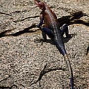 Rock Island Lizard   #8103 Art Print