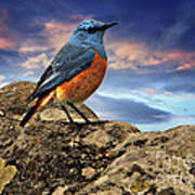 Rock Thrush Art Print