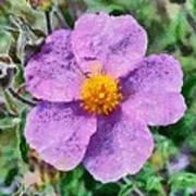 Rockrose Wild Flower Art Print