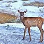 Rocky Mountain Elk Calf Art Print