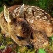 Roe Deer Fawn Art Print