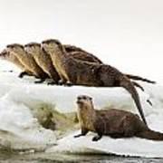 Romp Of Otters Art Print