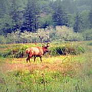 Roosevelt Bull Elk Art Print