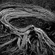 Roots Of A Fallen Tree By Wawa Ontario In Black And White Art Print