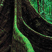 Roots Of A Giant Tree, Daintree Art Print
