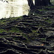 Roots On White River Art Print