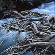 Roots Over Ozark Stream Art Print