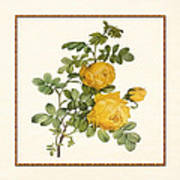Rosa Sulfurea -yellow Rose  Square Art Print
