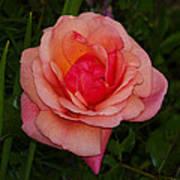 Rose 13 Art Print
