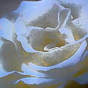 Rose 186 Art Print by Pamela Cooper