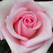 Rose 22 Art Print