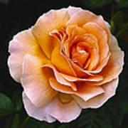Rose 4 Art Print