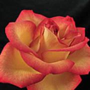 Rose 50 Art Print