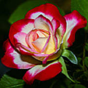 Rose 8 Art Print