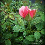 Rose And Rain Drops Art Print
