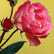 Rose And Rose Buds Art Print