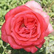 Rose At Clark Gardens Art Print