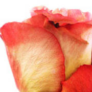 Rose Bud 1 Art Print
