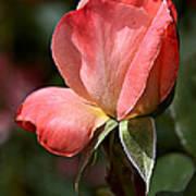 Rose Bud In Rose Art Print