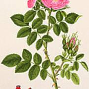 Rose Eglanteria Art Print