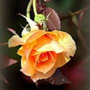 Rose - Flower - Card Art Print