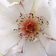 Rose Flower Art Print by Joyce Woodhouse