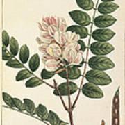 Rose Flowering Locust Art Print
