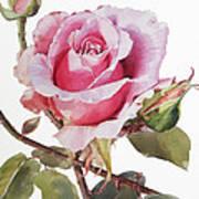 Watercolor Of Pink Rose Grace Art Print
