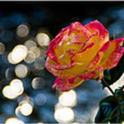 Rose In Dappled Afternoon Light Art Print