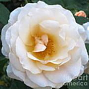 Rose In The Garden Art Print