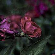 Rose In The Rain Art Print