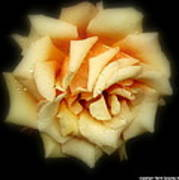 Rose Light Art Print