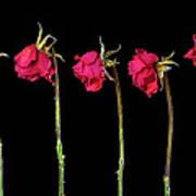 Rose Lineup Print by Mauro Celotti