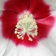 Rose Mallow - Honeymoon White With Eye 03 Art Print