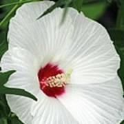 Rose Mallow - Honeymoon White With Eye 05 Art Print