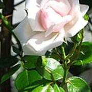 Rose Named Pearl Art Print