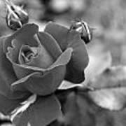 Rose Of Grace Art Print