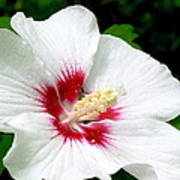 Rose Of Sharon # 1 Art Print